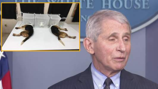 Fauci Hopes His Experiments On Puppies Will Distract Everyone From Experiments He Performed On Humanity For Past 18 Months